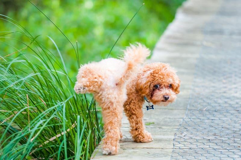 Toy Poodle royaltyfri fotografi