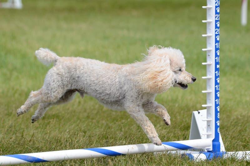 Toy Poodle ad una prova di agilità del cane fotografie stock
