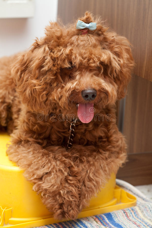 Toy Poodle with blue ribbon royalty free stock photo