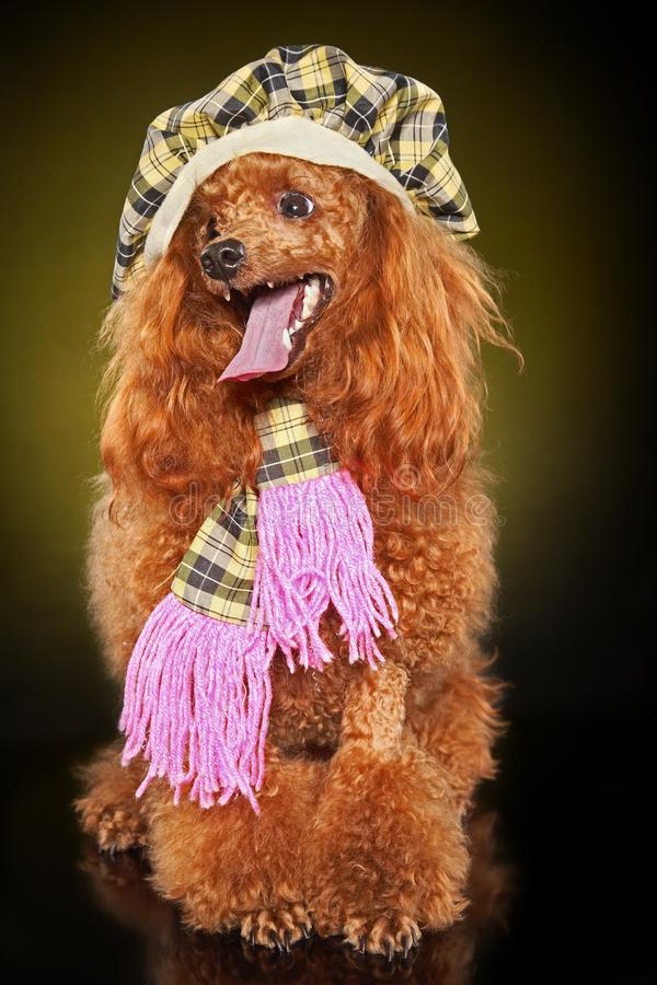 Toy poodle in cap and scarf. Red Poodle in cap and scarf on dark yellow background royalty free stock photo