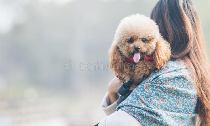 Toy Poodle che gioca con il suo padrone femminile in un parco immagine stock libera da diritti