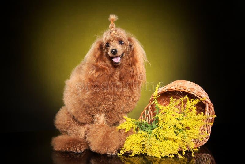 Toy Poodle che posa nello studio immagine stock
