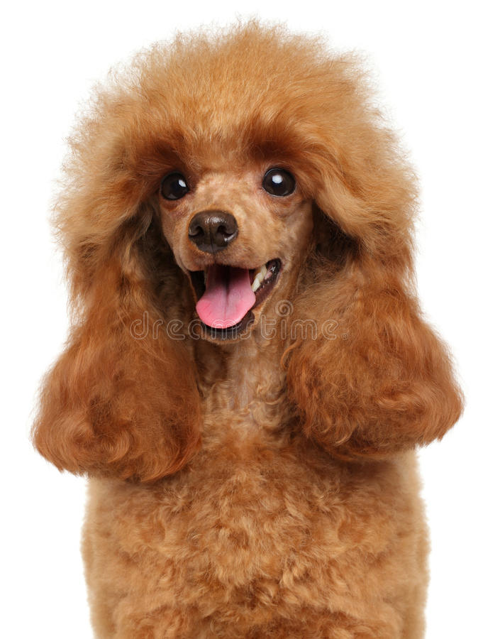 Toy Poodle close-up portrait royalty free stock image