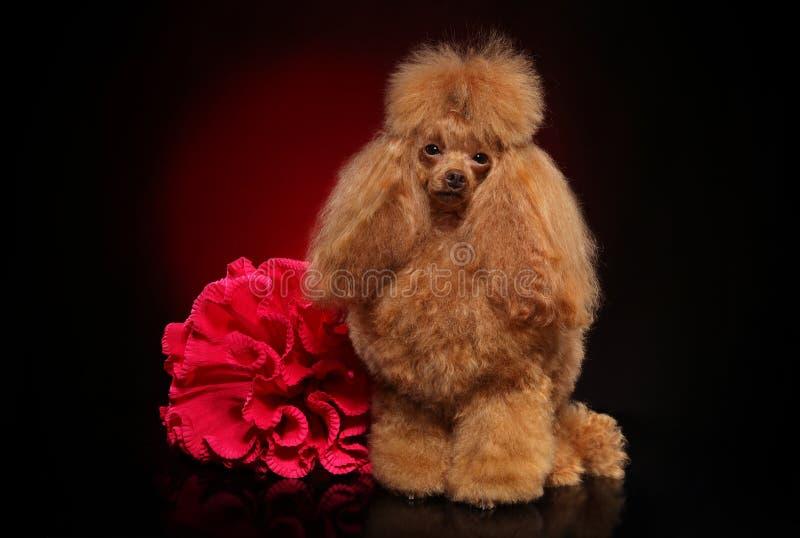 Toy Poodle con il fiore rosso su fondo scuro fotografie stock