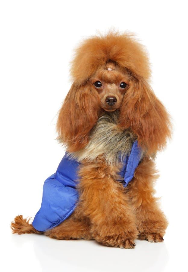 Toy Poodle in der Kleidung für Hunde stockbild