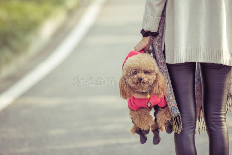 Toy Poodle, der mit seinem weiblichen Meister in einem Park spielt stockbild