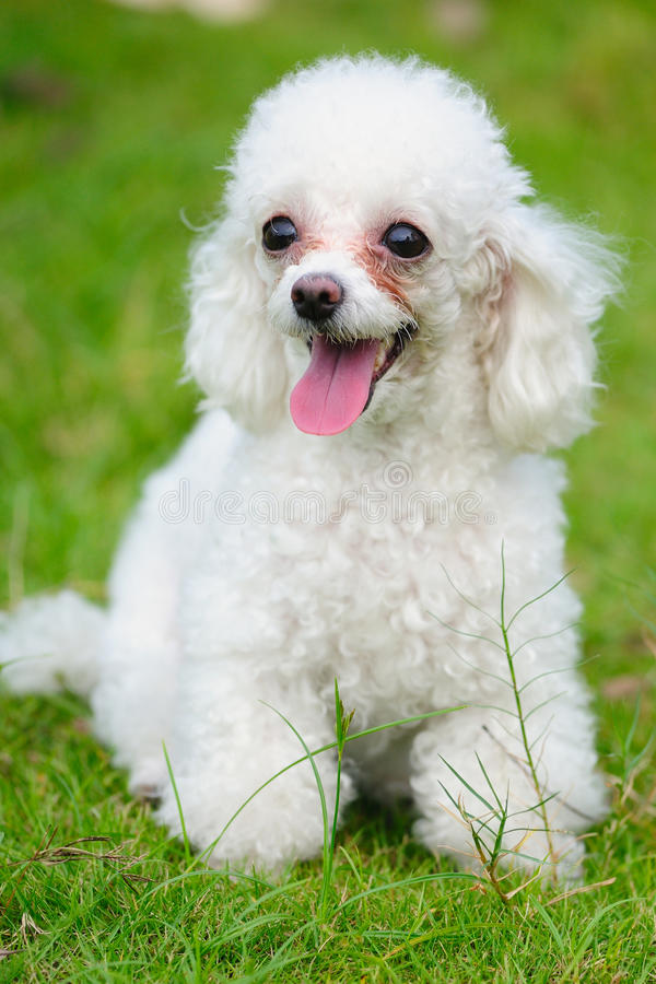 Toy poodle dog. A little toy poodle dog standing on the lawn royalty free stock image