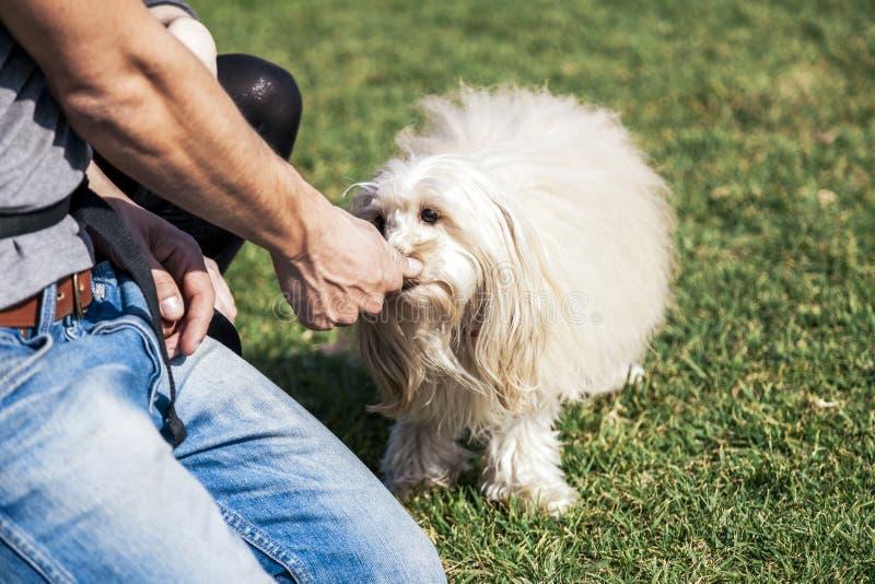Toy Poodle Dog Getting Treat immagine stock libera da diritti