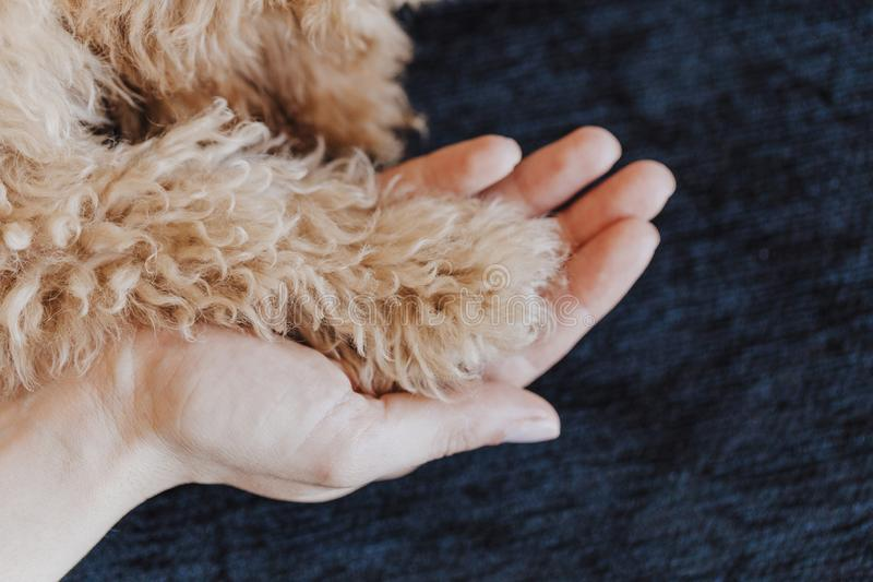 Toy poodle Dog paws and human hand close up, top view. friendship, trust, love, the help between the person and a dog royalty free stock photography