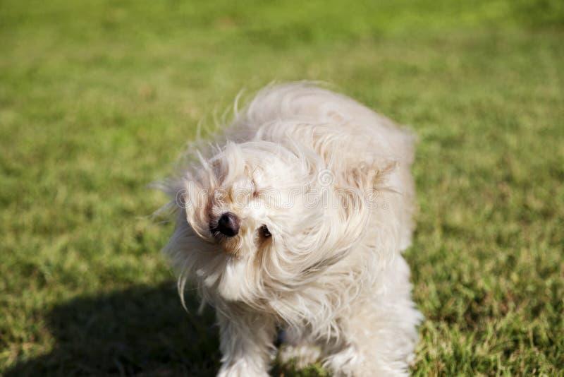 Toy Poodle Dog Shaking Head en el parque imágenes de archivo libres de regalías