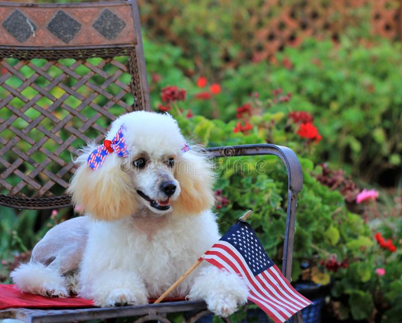 Toy Poodle dog with 4th of July bows. Toy poodle dog sitting on a metal chair with 4th of july bows and American flag stock photography