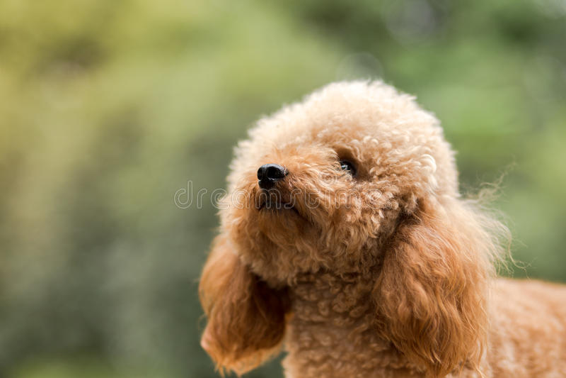 Toy Poodle On Grassy Field royalty-vrije stock foto's