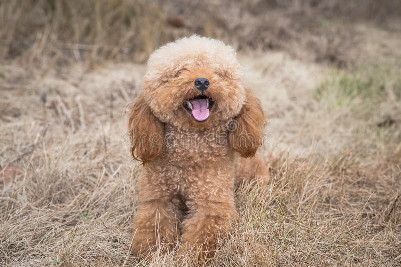 Toy Poodle On Grassy Field stock afbeelding