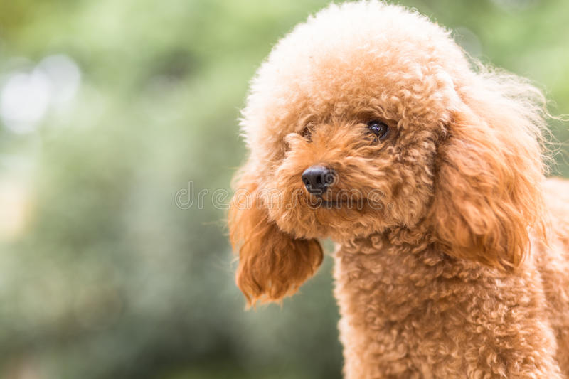Toy Poodle On Grassy Field stock foto's