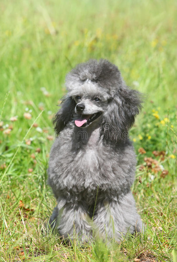 Toy poodle on green grass.