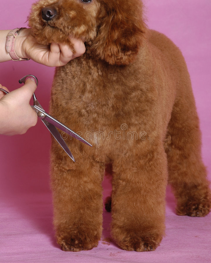 Download Toy Poodle grooming stock image. Image of domestic, cute - 5821813