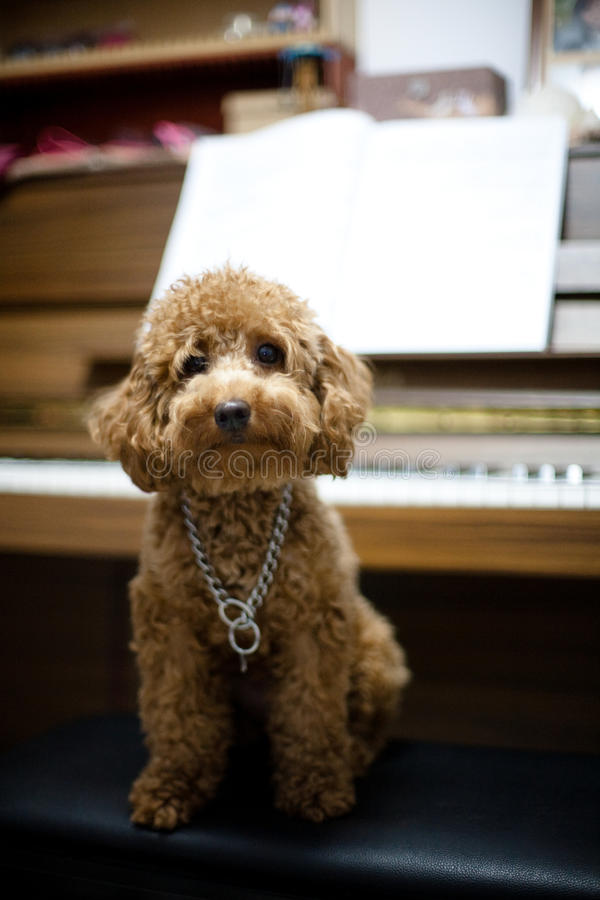 Toy Poodle Piano stock photos