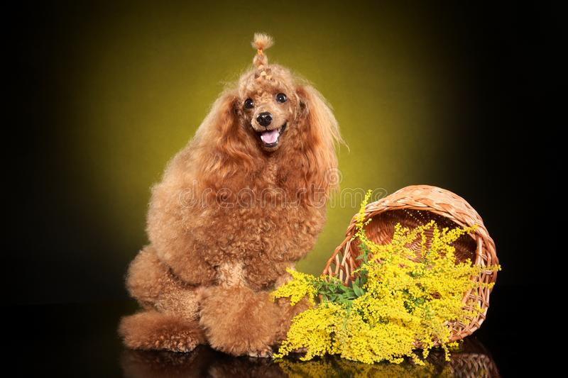 Toy Poodle posing in studio. With flowers on a dark-yellow background. Animal themes stock image