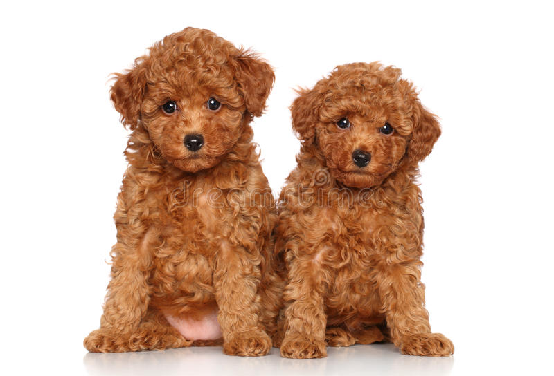 Toy Poodle puppies portrait royalty free stock images