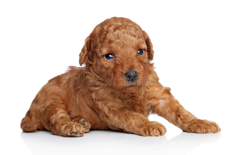 Toy poodle Puppy (20 days) on a white background. Closeup portrait series stock photography
