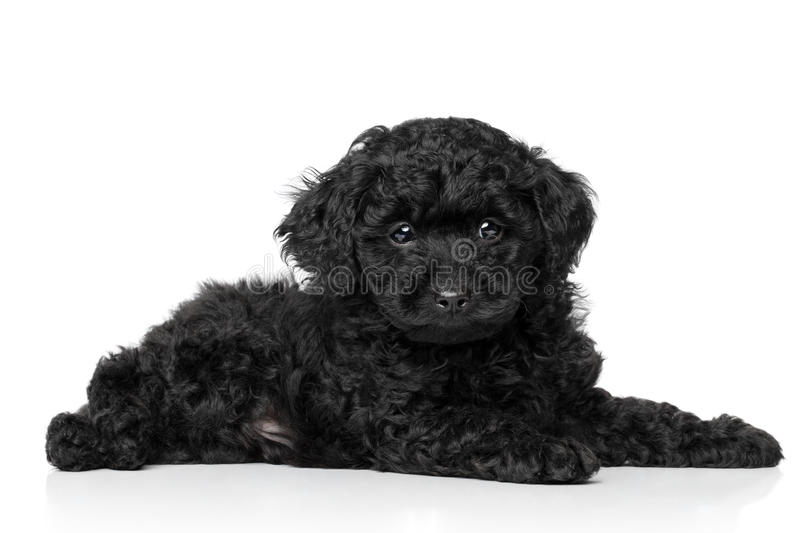 Download Toy Poodle Puppy stock photo. Image of pedigreed, attractive - 23876364