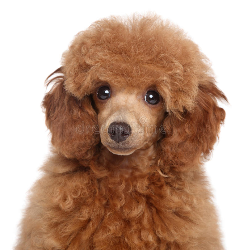 Toy Poodle Puppy royalty free stock photography