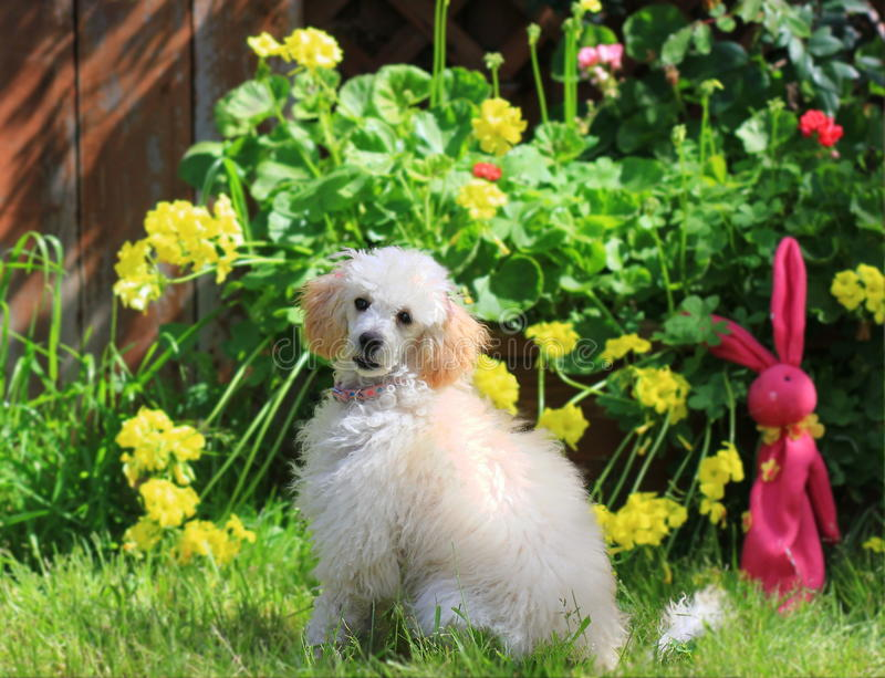Toy poodle puppy on grass. In a yard in spring stock photography