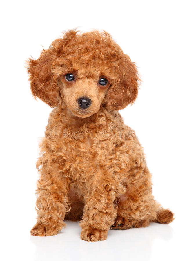 Toy Poodle puppy stock photos