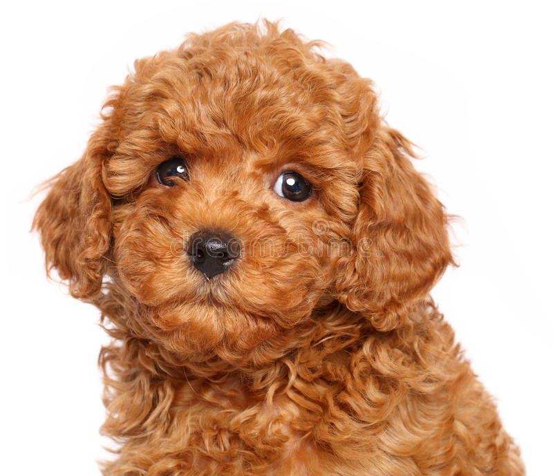 Toy poodle puppy on a white background. Red Toy Poodle puppy over white background. Close-up portrait stock photo