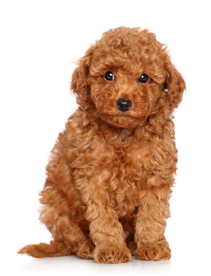 Toy Poodle puppy on a white background. Red Toy Poodle puppy sits on a white background royalty free stock photos