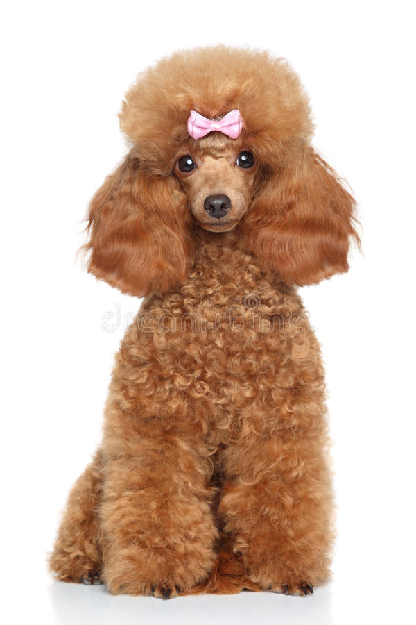 Toy Poodle puppy on a white background stock photo