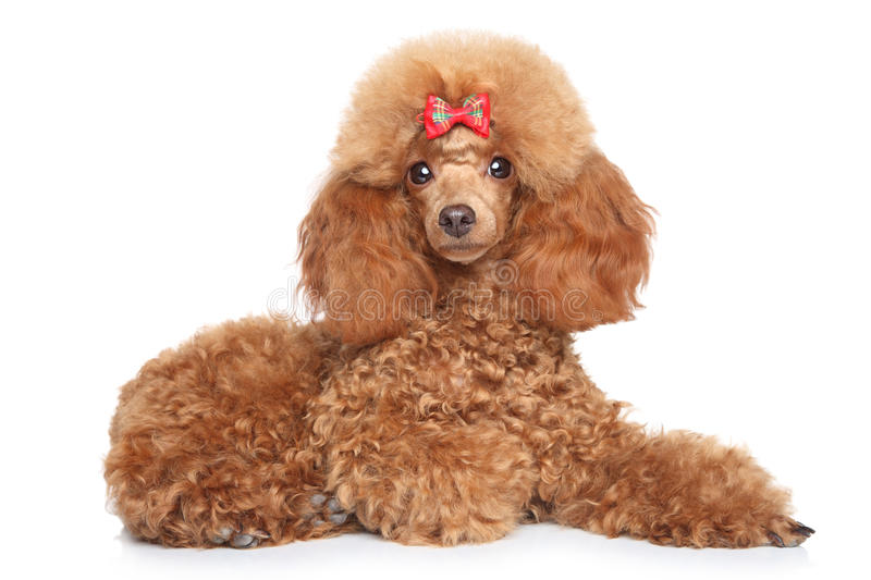 Toy poodle puppy on a white background royalty free stock image