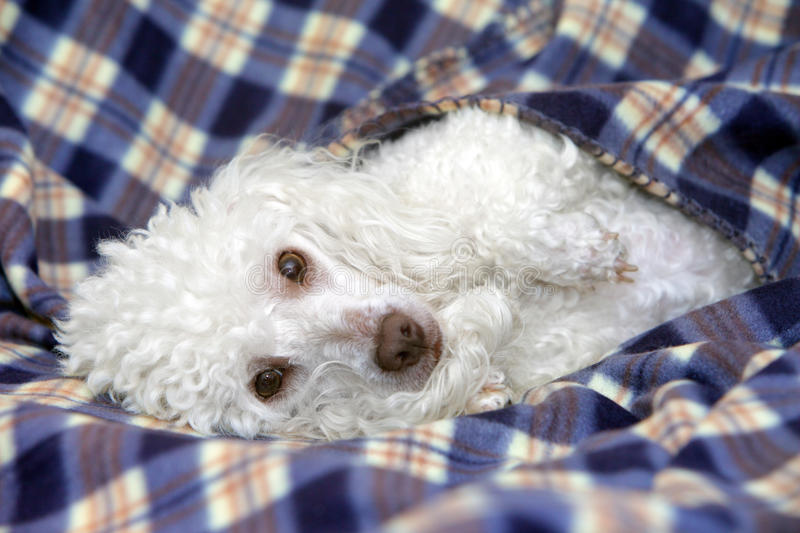 Toy poodle relaxing on a sofa. White Toy Poodle relaxing on a sofa stock images