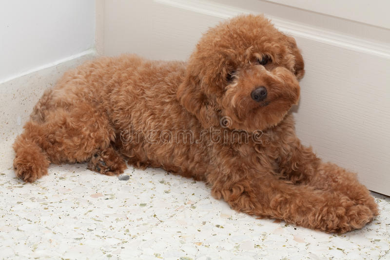 Toy Poodle with a sad expression 2 royalty free stock images
