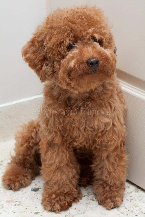 Toy Poodle with a sad expression 4 stock photography