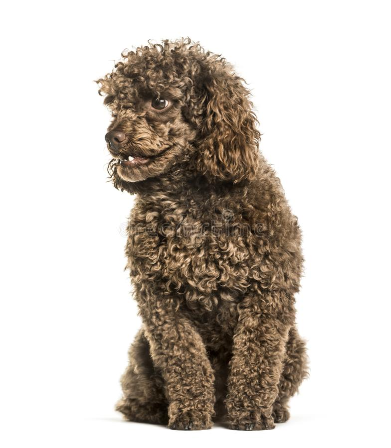 Toy poodle sitting against white background royalty free stock photo