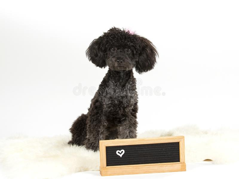 Toy poodle in studio with a nameplate and with white background. royalty free stock photo