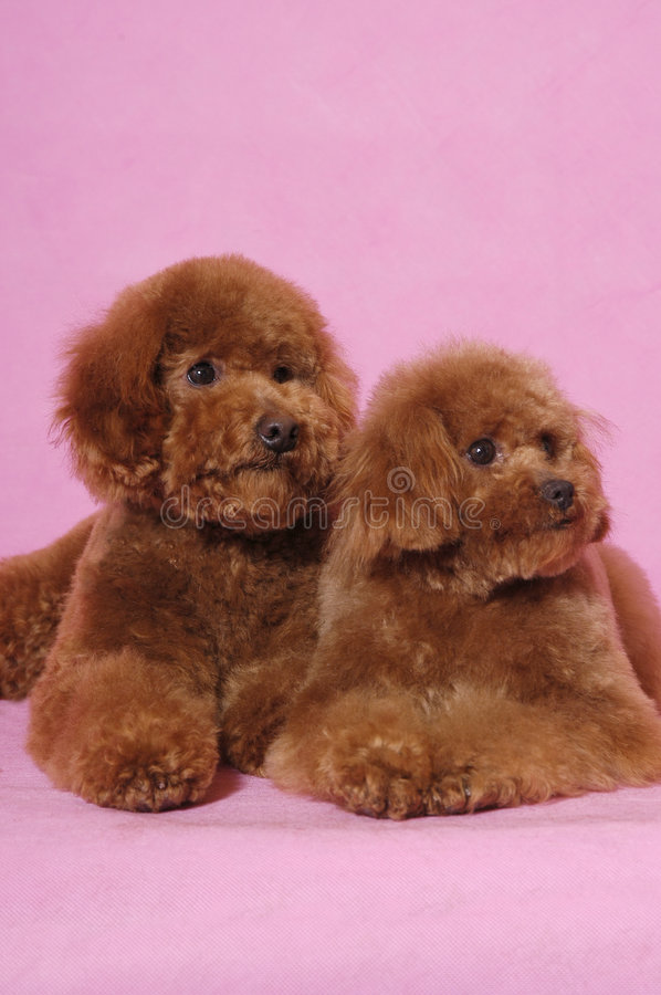 Free Toy Poodle Teddy Bear Royalty Free Stock Image - 5821626
