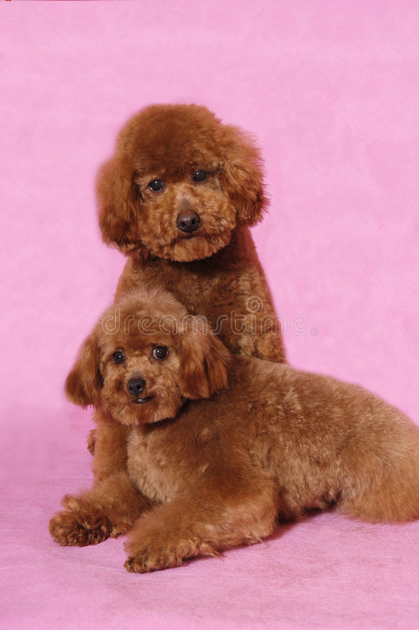 Download Toy Poodle Teddy Bear Stock Photography - Image: 5821682