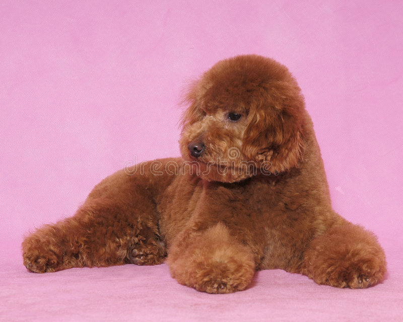 Download Toy Poodle&teddy bear stock image. Image of look, blowing - 5822059