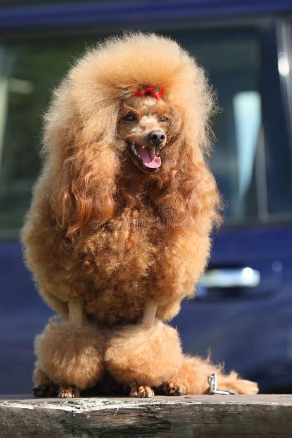 Toy Poodle utomhus- stående arkivbild