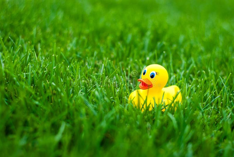 Toy rubber duck for a bath among green grass. Yellow on a green background stock photo