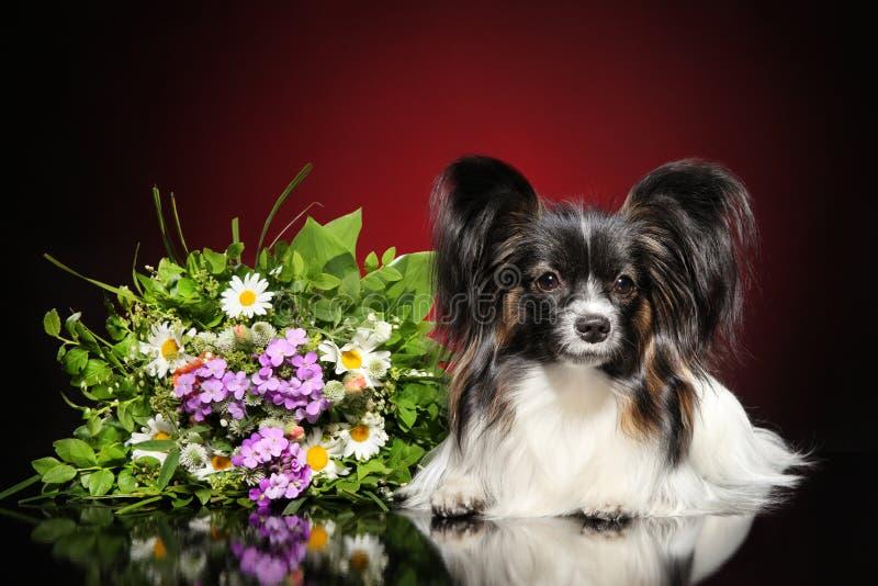 Toy Spaniel continental con un ramo de flores fotos de archivo libres de regalías