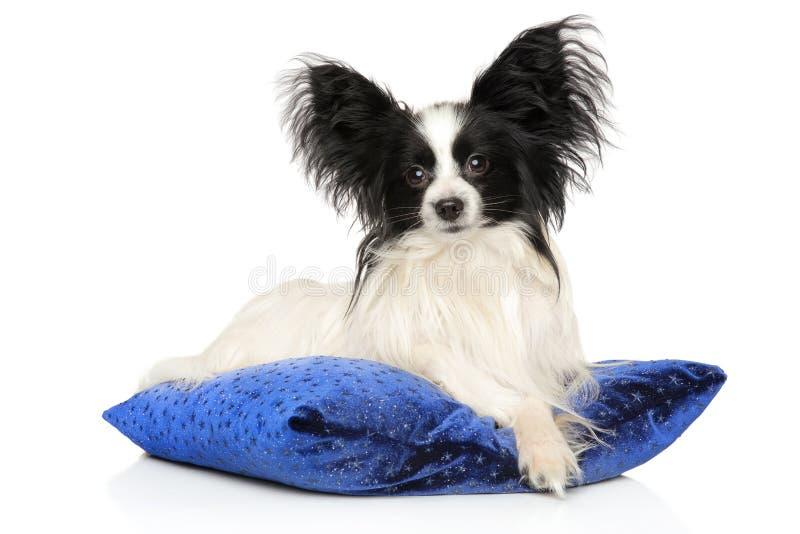 Toy Spaniel continental en la almohada azul foto de archivo