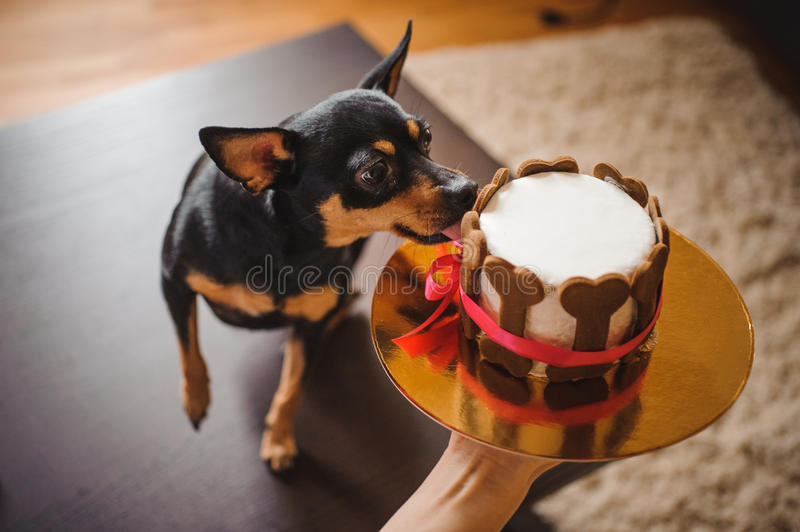 Toy terirer eating birthday cake hold by woman. Toy terirer eating birthday cake decorated with bone shaped cookies hold by woman royalty free stock photography