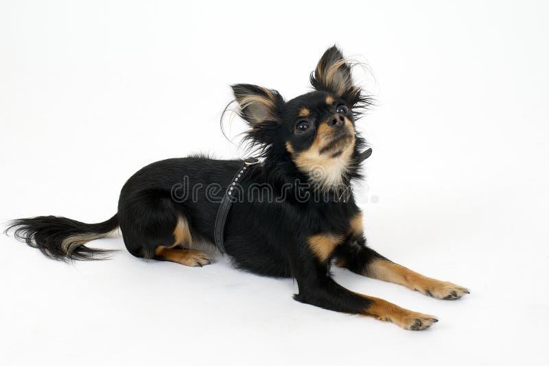 Toy terrier stock photo