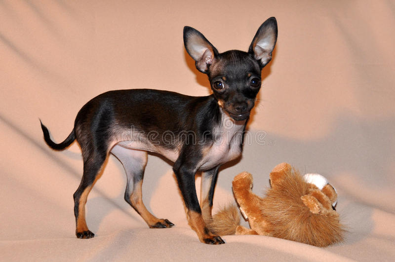 Toy Terrier stock photography