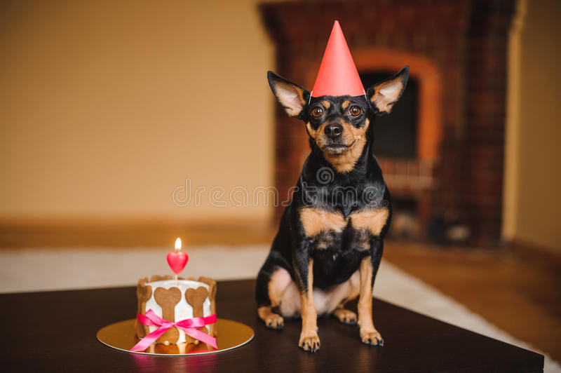 Toy terrier in birthday hat with dog cake. On table royalty free stock image