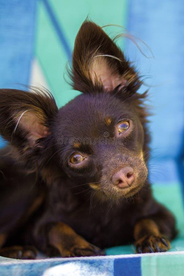 Toy Terrier die camera bekijken royalty-vrije stock afbeeldingen