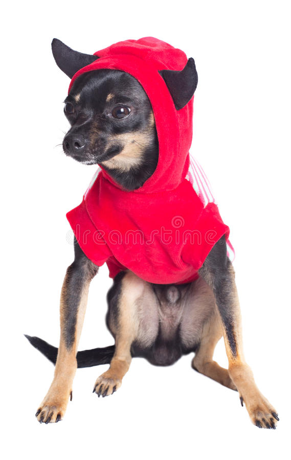 Download Toy terrier dog stock image. Image of whelp, studio, young - 24810209
